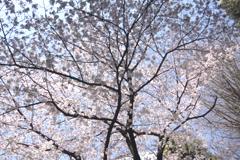 櫛田神社の桜