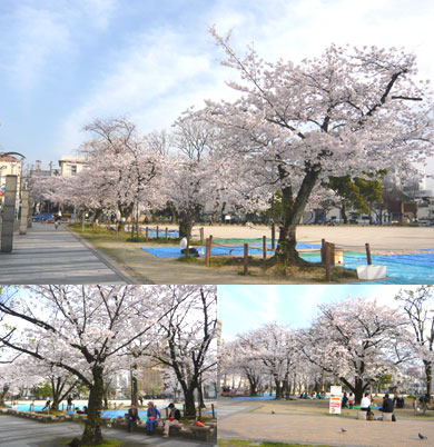 冷泉公園桜満開