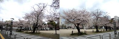 冷泉公園の桜